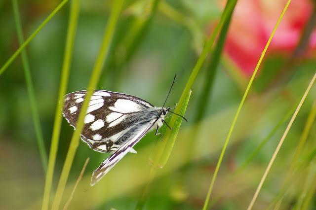 Melanargia leda LEECH, 1891, femelle. Shangri-la (Zhongdian), 3400 m (Yunnan), 23 août 2010. Photo : J.-M. Gayman