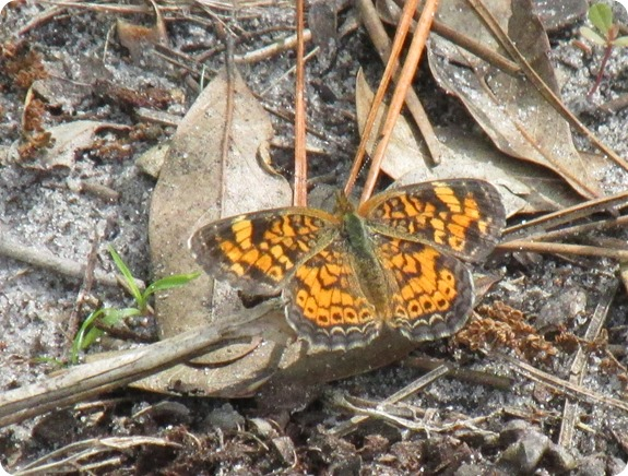 Hampton Tract - Pearl Crescent Phyciodes tharos Butterfly (1)