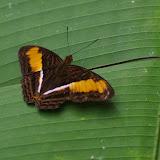 Adelpha plesaure phliassa (Godart, [1824]). Fundo Palmarito, 265 m (Yopal, Casanare, Colombie), 8 novembre 2015. Photo : J.-M. Gayman