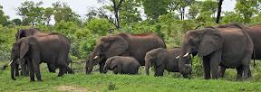 Elephant Breeding Herd, Botswana