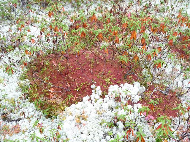 Coral Lichen, Labrador Tea and possibly Sphagnum capillifolium moss