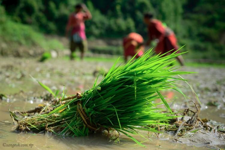 Roopai ashar 15 nepal dhanding chattre deurali