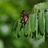 Antanartia delius DRURY, 1782. Ebogo (Cameroun), 8 avril 2012. Photo : J.-M. Gayman