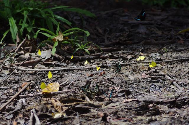 En vol : Papilio bromius DOUBLEDAY, 1845. Au premier plan : Graphium policenes CRAMER, 1775 et Papilio demodocus demodocus ESPER, 1798. Au second : Eurema senegalensis BOISDUVAL, [1836]. Berges de la Soo (affluent du fleuve Nyong), Ebogo (Cameroun), 8 avril 2012. Photo : J.-M. Gayman