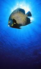 Blue_Angelfish.jpg