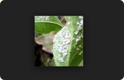 contoh hama kutu daun