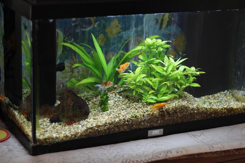 65L Tank And 200L Fancy Goldfish Project - Members Aquarium and Fish ...