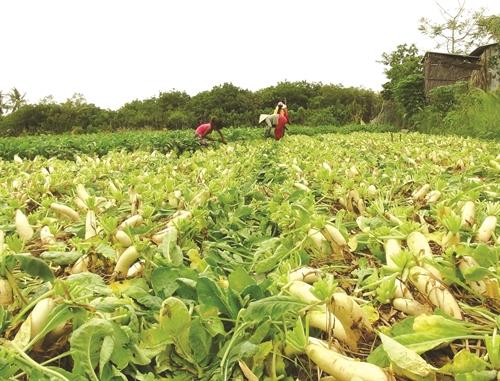 Hướng dẫn kỹ thuật trồng củ Cải - 57230df60a825