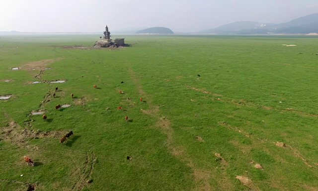 Cattle graze on the dried up bed of Poyang Lake in east China, site of one of the world's biggest sand mines. Photo: Xinhua / Barcroft Images