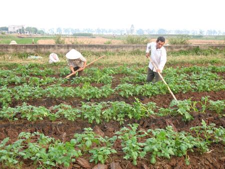 Trồng khoai tây bằng phương pháp giâm ngọn giúp tăng năng suất - 55de577a59a66