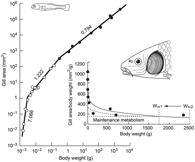 Respiratory area of carp (Cyprinus carpio), redrawn from Oikawa and Itazawa (1985), illustrating its fast hyperallometric growth in teleost larvae (dG ≫ 1) and early fingerlings (dG > 1), and the slower, but still hyperallometric growth of its gills in juveniles and adults (dG = 0.794). The inset shows the gill area in juvenile and adults, divided by the corresponding body weight and plotted against that same body weight. The resulting scope for growth (which requires O2) declines with body weight, down to a level (at W∞1, or W∞2) where all the available O2 is used for maintenance. Higher temperatures, by increasing metabolic rate, will shift the asymptotic weight from W∞2 to W∞1, irrespective of assumptions or data on the shape of the maintenance metabolism (dotted lines). Graphic: Pauly and Cheung, 2017 / Global Change Biology