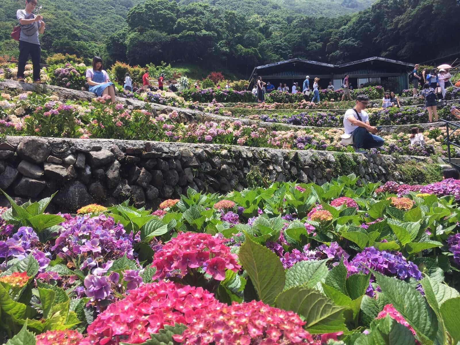 yang ming shan hydrangea farm zhuzihu Taipei Taiwan flowers in bloom