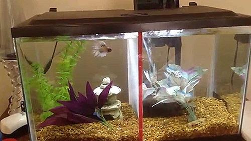 10-gallon-fish-tank-betta-fish