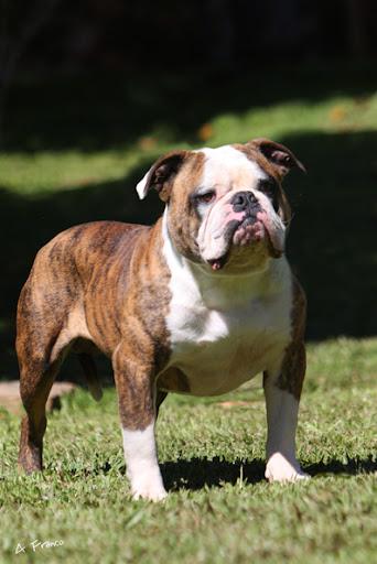 Petclube Filhotes Cães Bully Gatos Gigantes Criadores Ecologicamente
