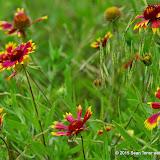 05-26-14 Texas Wildflowers - IMGP1354.JPG