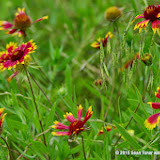 05-26-14 Texas Wildflowers - IMGP1354.JPG