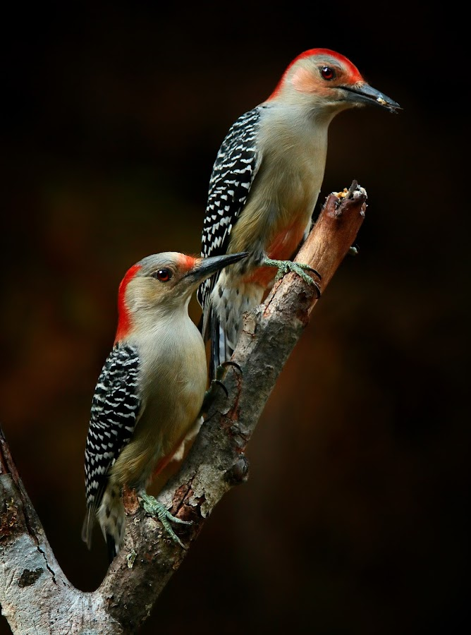 Red-Bellied Woodpecker Couple by Q  by Paul Mays - Animals Birds (  )