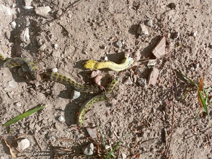 Las viboras en barrio Tassone puso en vilo a los vecinos de la zona, hallaron reptiles de hasta dos metros