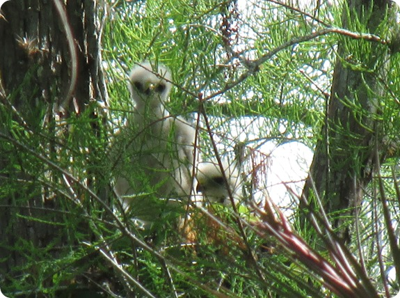 10 Red-shouldered Hawk Bird Babies (3)