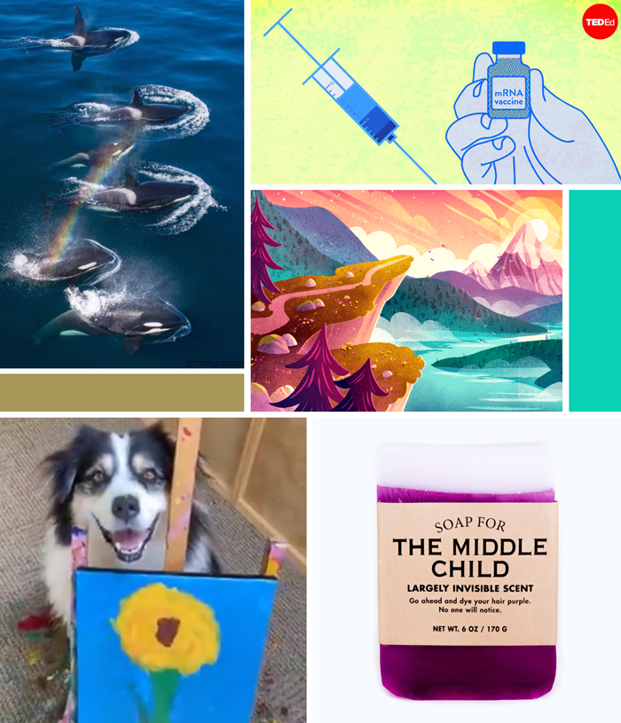 orcas, whales, rainbow, photography, Mark Girardeau, TEDed, Covid-19, mRNA vaccines, Sarah Holliday, drawing, painting, Procreate online class, Skillshare, handmade soap, middle child, Alair Seattle, Secret dog sunflower