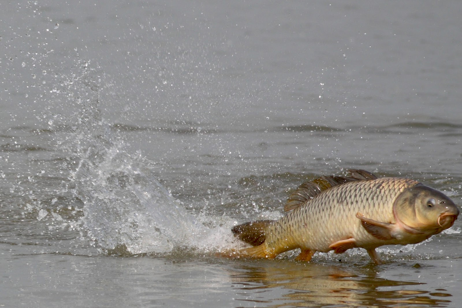Freshwater fish jumping - Why Do Fish Jump
