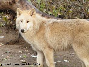 Photo: Knut ruht - der Polarwolf ist wach ;-)