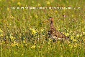 Grutto - natuurgebiedje Driezum (8).jpg