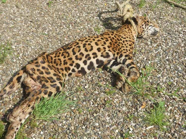 A jaguar killed by poachaers using a noose trap. Photo: biodiversitysummative.weebly.com