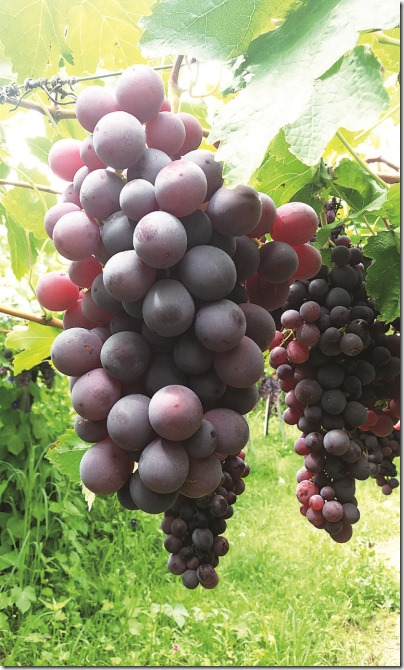 Tarija: Calamuchita y San Isidro, la prosperidad hecha de uvas