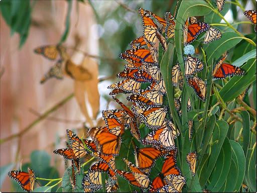 Monterey Butterflies.jpg