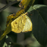 Eurema xantochlora xantochlora (Kollar, 1850). Machetá, 2070 m (Cundinamarca, Colombie), 1er novembre. Photo : B. Lalanne-Cassou