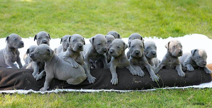 Giống chó Great Dane giá bao nhiêu? Mua bán chó Great Dane Hà Nội và TPHCM