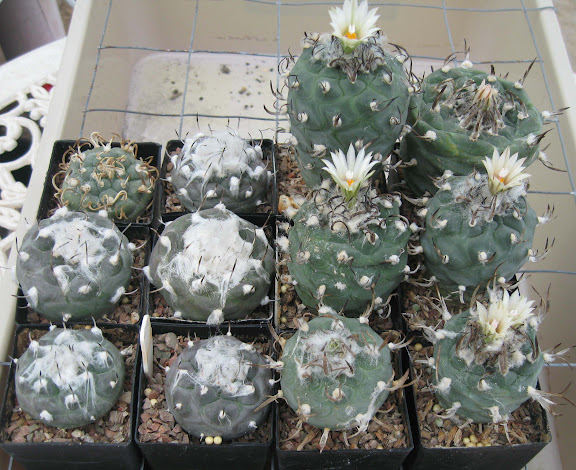 Hana's cactus seedlings in 2015/2016 - Page 3 IMG_2042