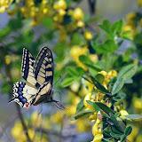 Papilio machaon L., 1758. Parco Naturale Monti Livornesi, 11 avril 2014. Photo : L. Voisin