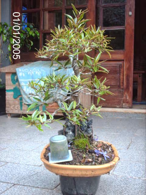 Ficus Nerifolia, Uma raiz de 3 anos... - Página 2 PICT2437