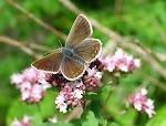 Sortbrun blåfugl2.jpg