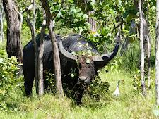 Large bodied old buffalo bull