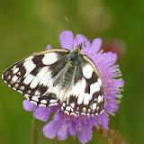 Melanargia galathea LINNAEUS, 1758. Les Hautes-Lisières (Rouvres, 28), 11 juin 2011. Photo : J.-M. Gayman