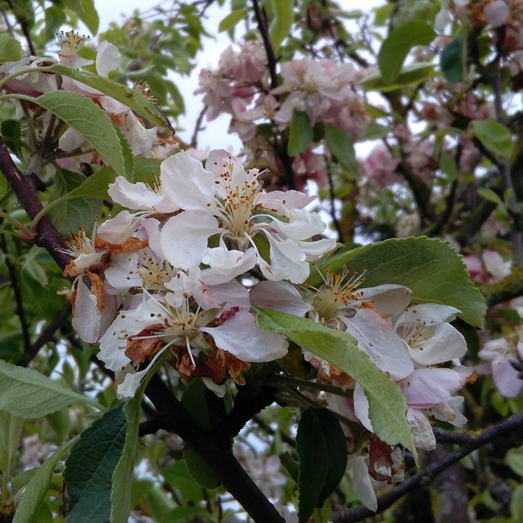fading blossom