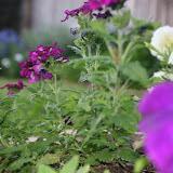 Gardening 2012 - IMG_2751.JPG