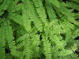 Ferns (Portland, OR).