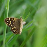 Pararge aegeria (Linnaeus, 1758) pondant. Les Hautes-Lisières (Rouvres, 28), 2 juin 2015. Photo : J.-M. Gayman