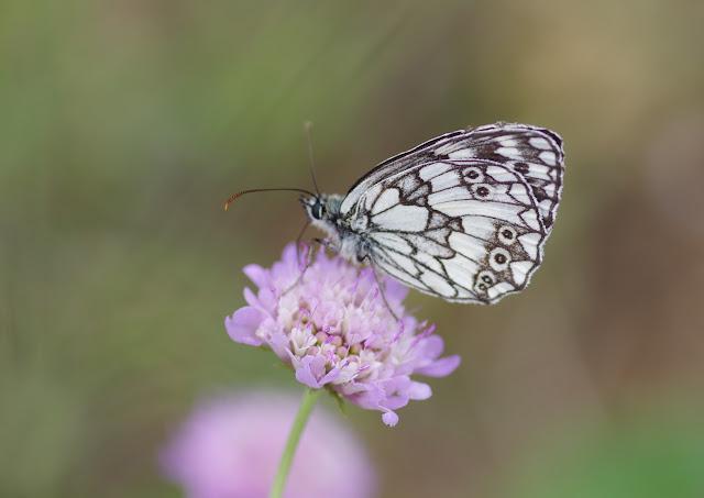 Melanargia galathea (Linnaeus, 1758), mâle. Les Hautes-Courennes, Saint-Martin-de-Castillon (Vaucluse), 16 juin 2015. Photo : J.-M. Gayman