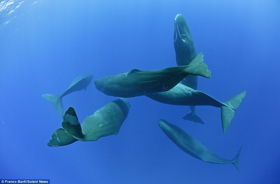 sperm-whales-franco-banfi-2