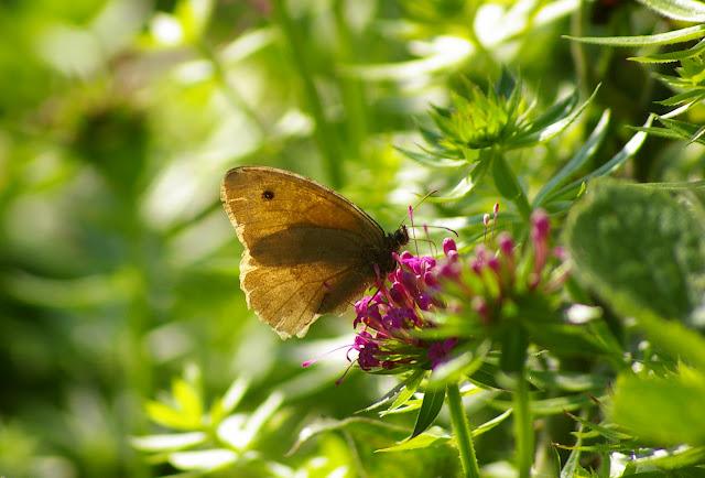 Manolia jurtina L., 1758, femelle. Les Hautes-Lisières (Rouvres, 28), 3 septembre 2011. Photo : J.-M. Gayman