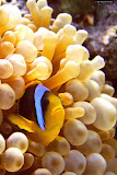 Anemone fish @ home (© 2008 Bernd Neeser)