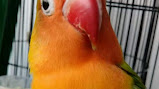 Ciri Ciri Perbedaan Lovebird Pastel Putih Pasput Dan Lovebird Albino On Kicau