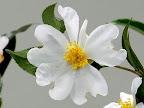 白色 一重 平開咲き 小輪 芳香