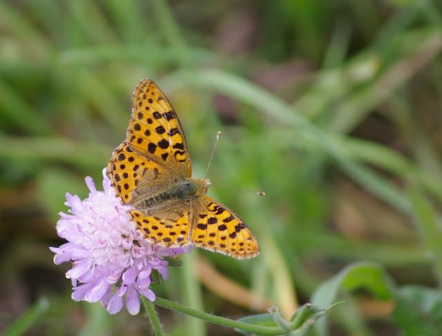 Issoria lathonia L., 1758, mâle. Les Hautes-Lisières (Rouvres, 28), 29 juin 2011. Photo : J.-M. Gayman