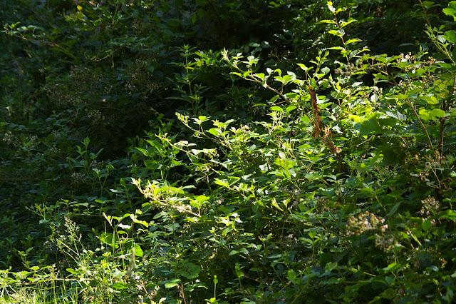 Biotope d'A. hyperantus, A. ilia, A. paphia, M. athalia, etc. Les Hautes-Lisières (Rouvres, 28), 30 juin 2011. Photo : J.-M. Gayman